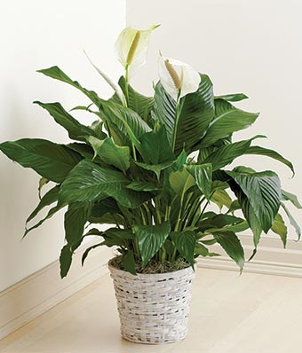 Large Peace Lily Plant $60.00