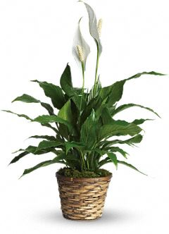 Small Peace Lily $ 35.00